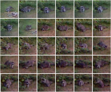 Raccoon Images